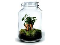 Growing Concepts DIY Duurzaam Ecosysteem Weckpot 5L - Ficus Ginseng - H28xØ18cm