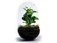 Growing Concepts DIY Duurzaam Ecosysteem Egg Large - Coffea Arabica - H30xØ18cm