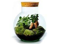 Growing Concepts DIY Duurzaam Ecosysteem Bol met Kurk - Ficus Ginseng - H30xØ18cm